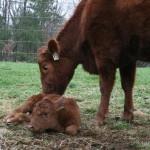 Mama drying off her newborn.