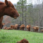 The peanut gallery checking out the new calf.
