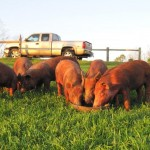 Supper-at-Sunset-for-6-Feeder-Pigs.jpg