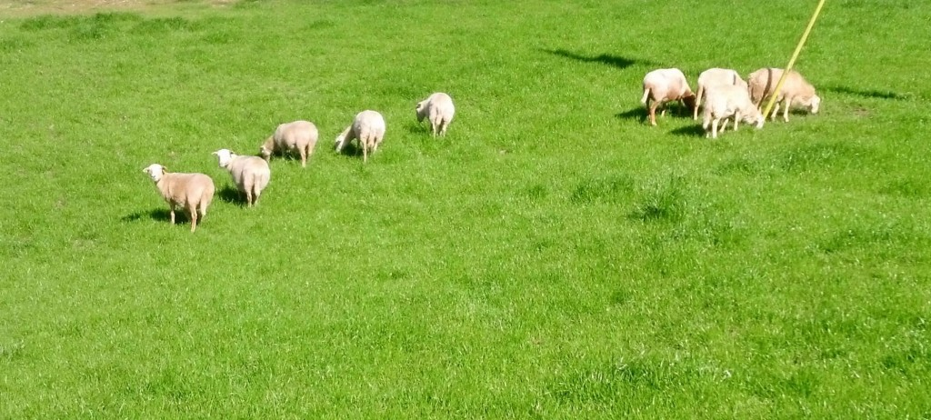 Spring Lambs on the Way