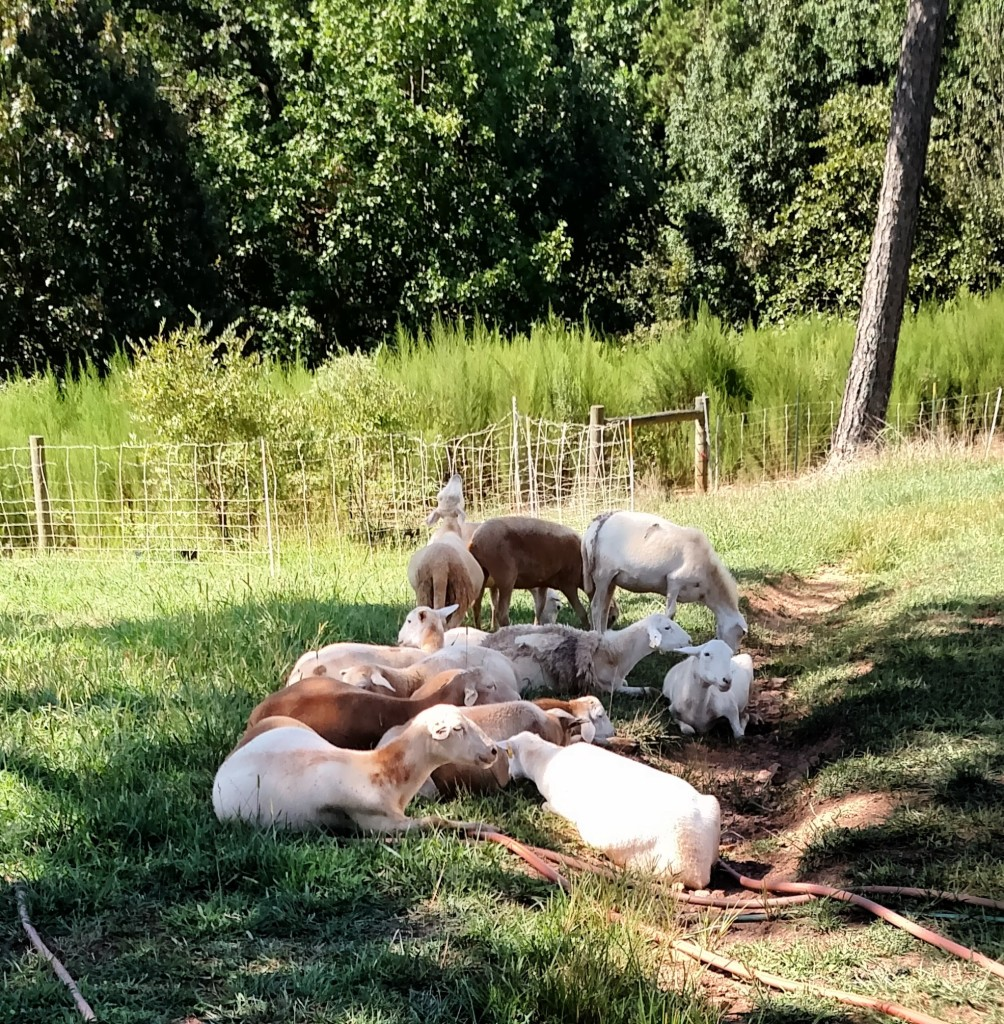 Sheep in Yard (2)